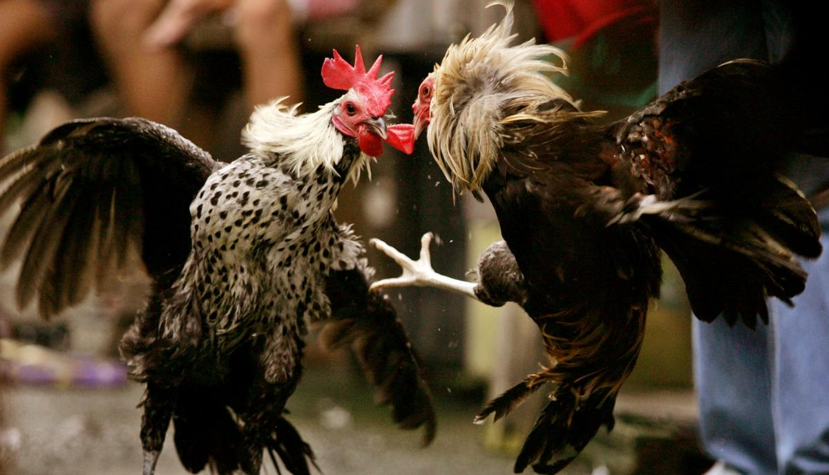 Judi Sabung Ayam S128 Online